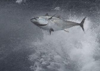 AZTI desarrolla un método genético para identificar el origen de los atunes rojos, mejorar su gestión y contribuir a su conservación